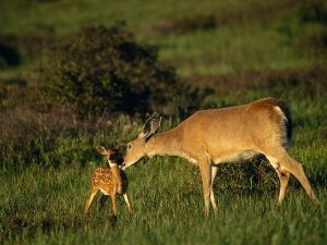 white-tailed-deer_756_600x450