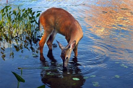 deer_drinking